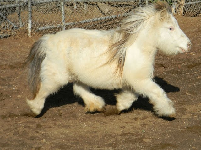 pony horse miniature size available in different colors 03459442750 Zain  Ali farming in Pakistan