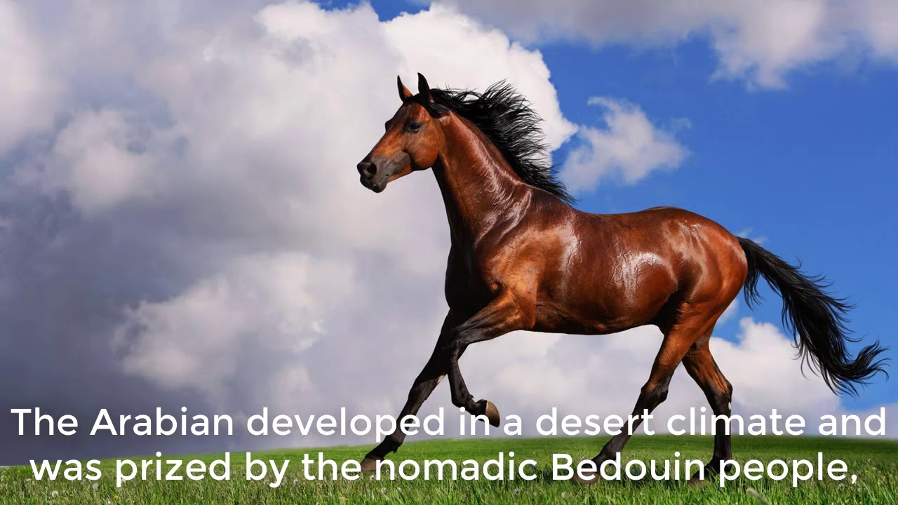 How to Care for an Arabian Horse